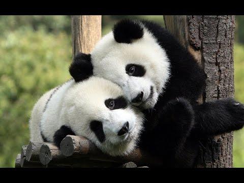 la naturaleza y los pandas
